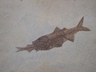 Rare fossil of a perch that died while eating a herring